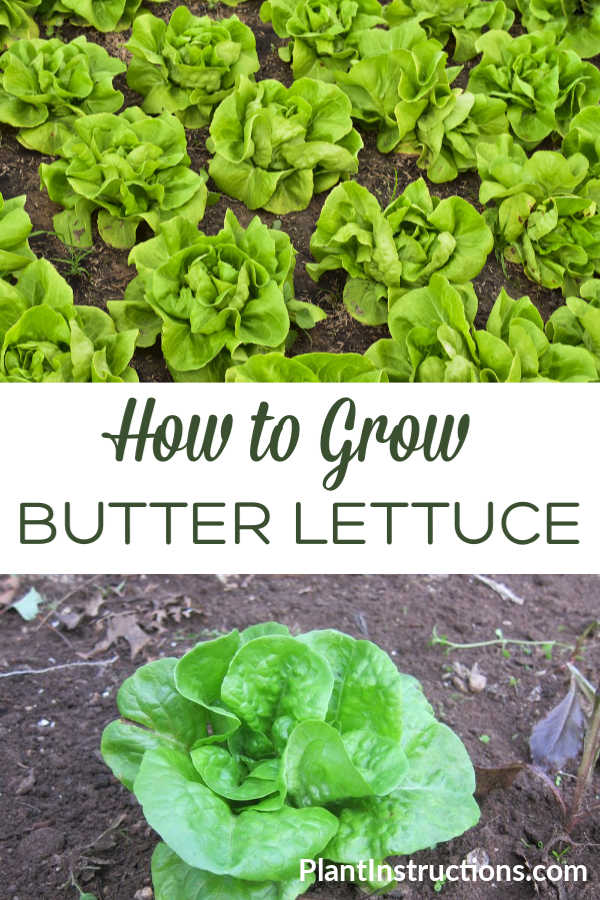How To Grow Butter Lettuce Organic Vegetable Garden Growing Vegetables Growing Lettuce