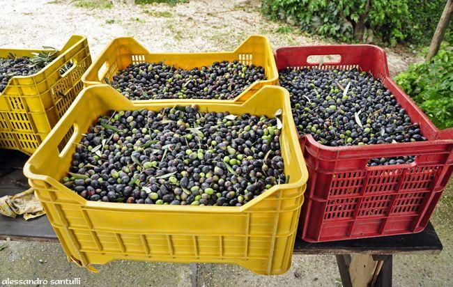 Olio extravergine di oliva Sicilia. Trasporto delle olive al frantoio all'interno di piccole.  #Wonderfooditaly   #FrancescoBruno