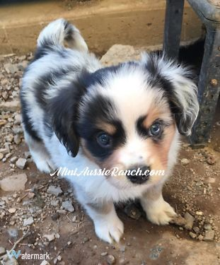 Gorgeous litter of Miniature Australian Shepherd puppies are ready for their new homes now! They are a very friendly bunch of boys and girls that would all do well with kids.  M & F Blue Merles and
