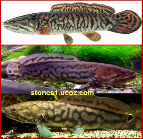 اربيمة عملاقة Arapaima Gigas قسم انواع الاسماك سمك انواع الاسماك مع الصور الموقع الزراعي ومنوعات اخرى Fish Pet Pets Animals