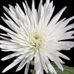 White spider anastasia chrysanthemum liked these for texture and flowers white spider anastasia chrysanthemum mightylinksfo