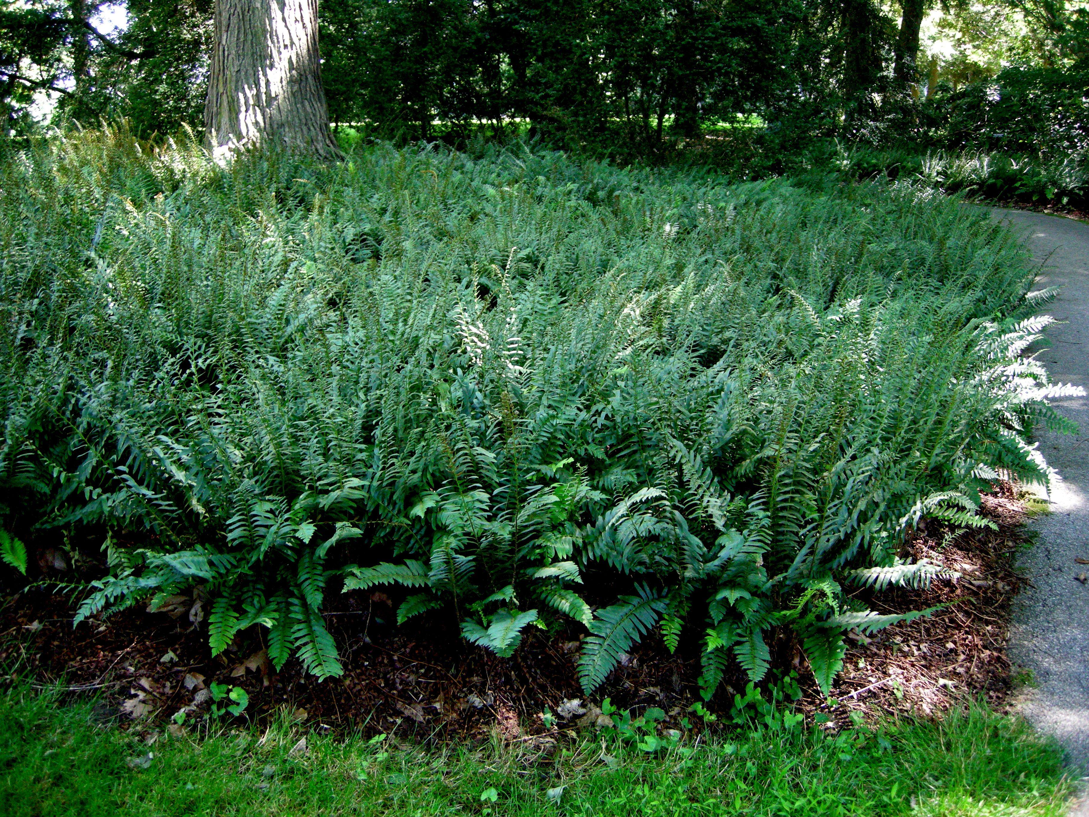 Polystichum Acrostichoides (Christmas Fern)  A New England Native Fern