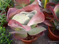 Plantas y flores: Kalanchoes