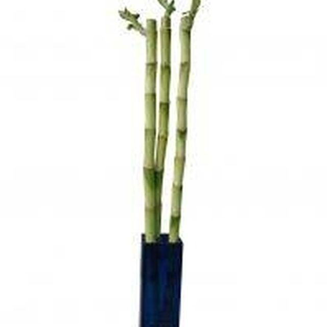 How To Save A Rotting Bamboo Plant Hunker Bamboo Plants Lucky Bamboo Plants Lucky Bamboo,Small Studio Apartments Decor