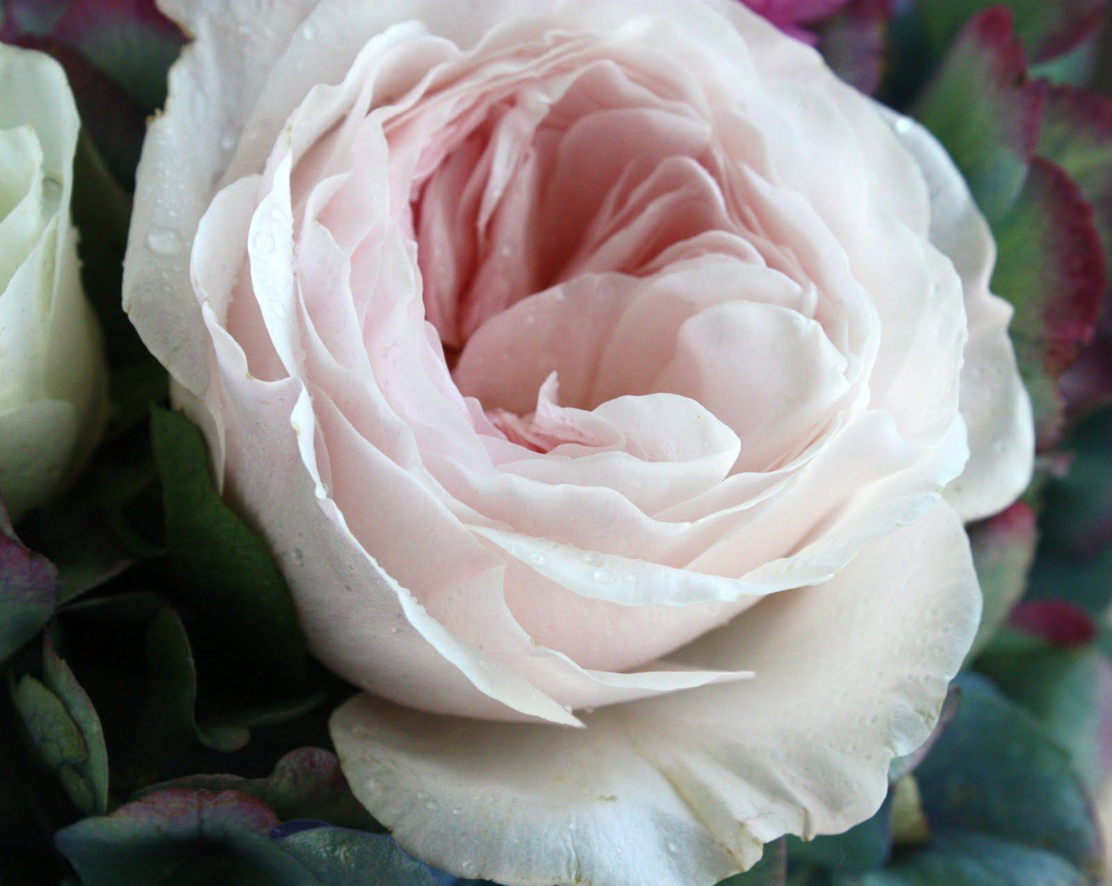 well this is the official flower of the wedding blush pink garden rose