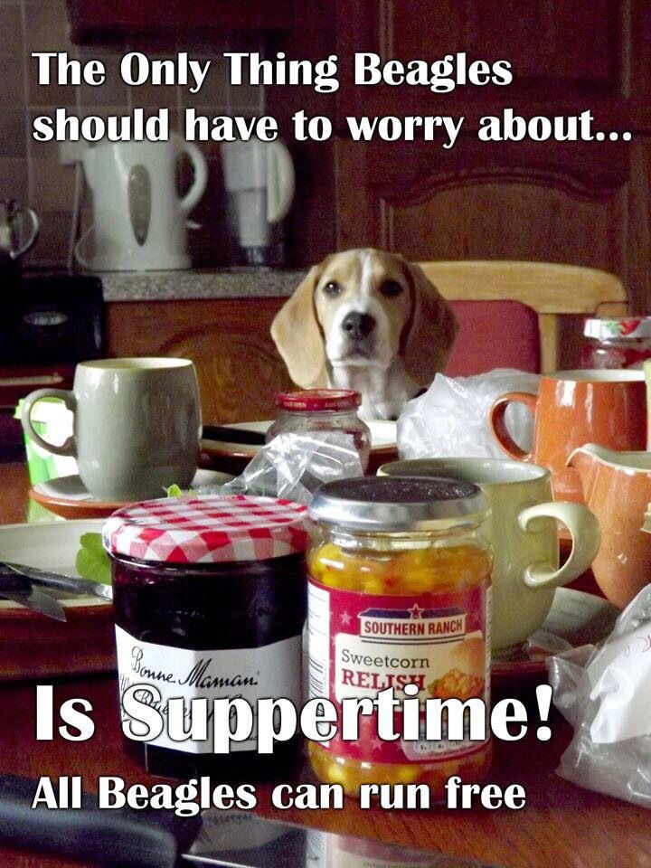 Beagle Supper Time Runfree Do Not Use Beagles For Lab Testing