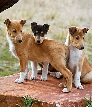 Smooth Collie Dog Photo Smooth Collie Breed Info Pictures