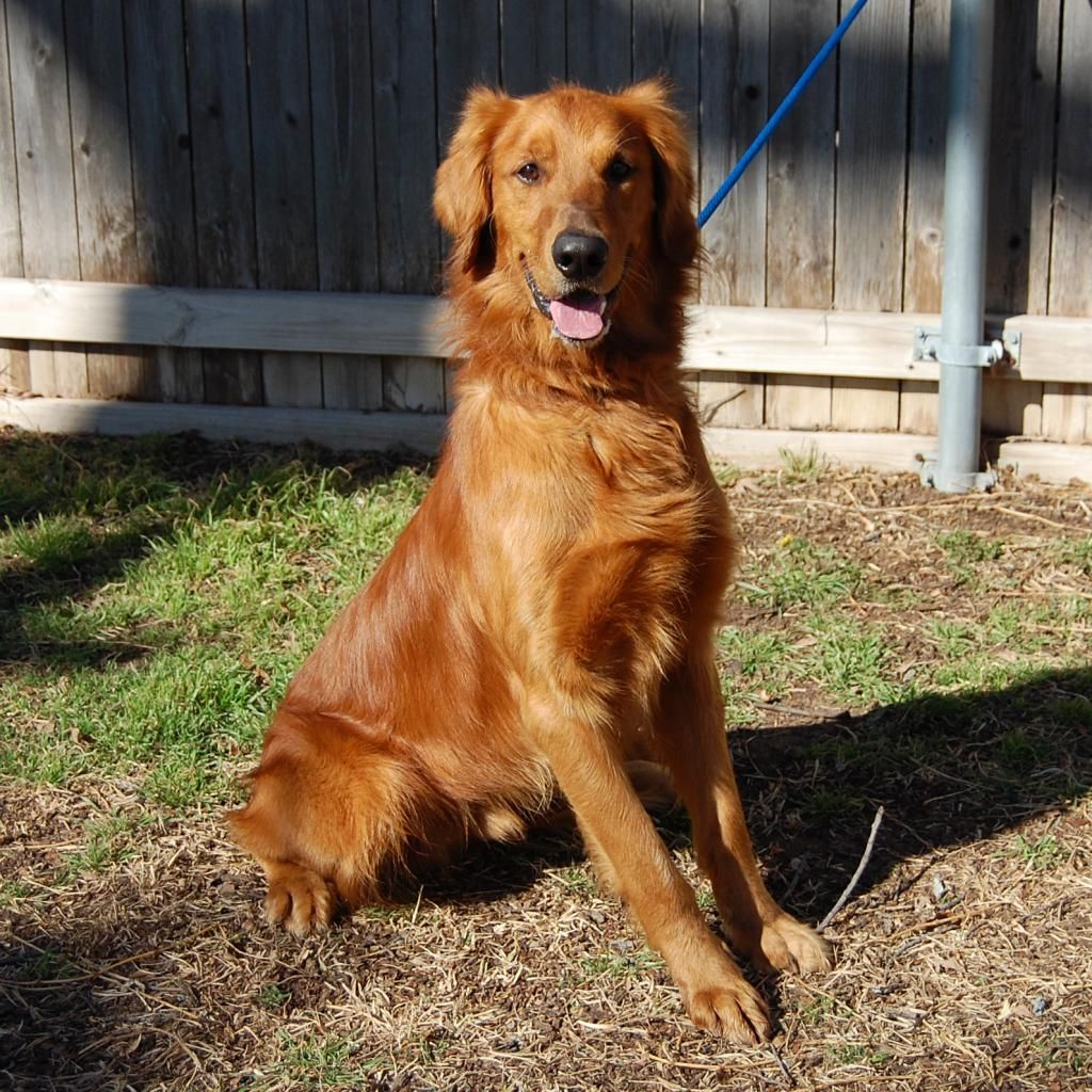 Hamilton 2 5 Yr Old Male Meet Him At The Golden Retriever Rescue Of North Texas Www Goldenretrievers Org Golden Retriever Rescue Golden Retriever Rescue