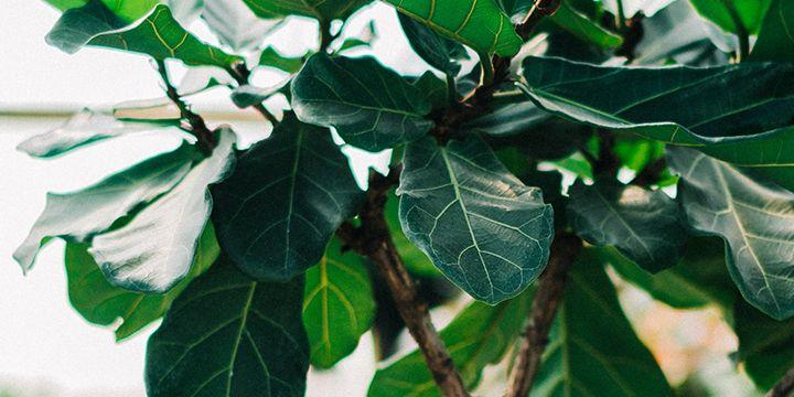 Fiddle leaf fig ficus lyrata plant care guide the
