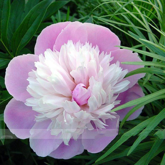 5 seeds rare pink and white japanese peony flower seeds smith lady 5 seeds rare pink and white japanese peony flower seeds smith lady tree peony mightylinksfo