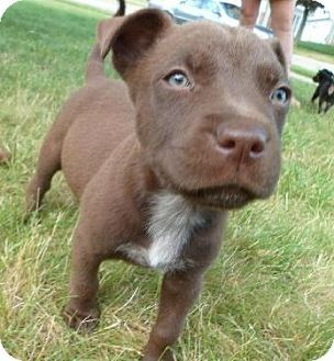 Shyla Is A Pitbull German Shepard Puppy Available For Adoption In