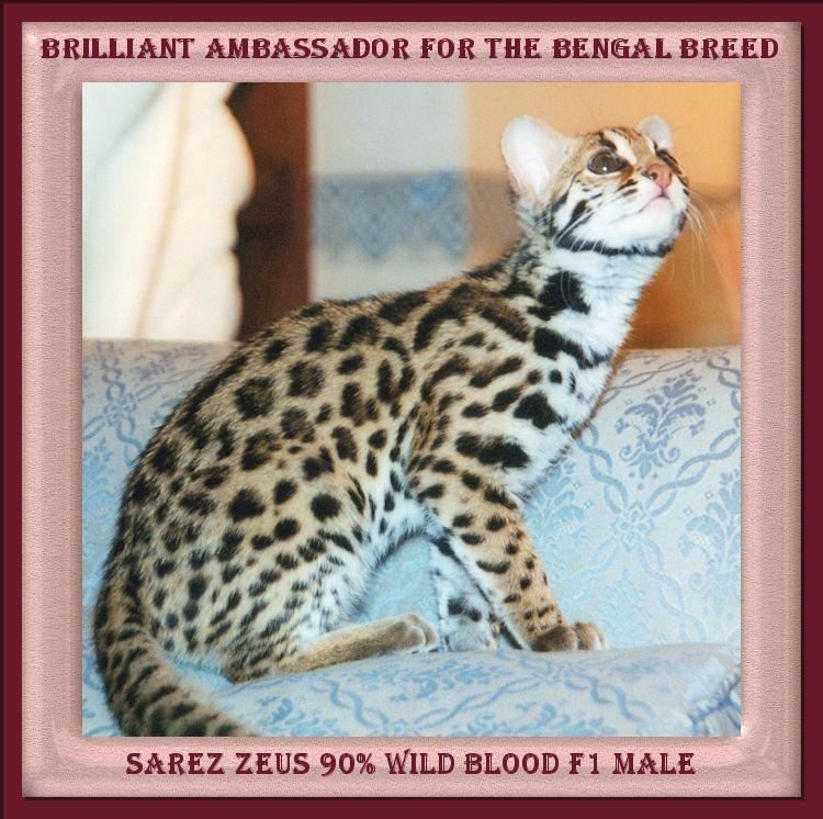 Bengal Cat Clicker Training