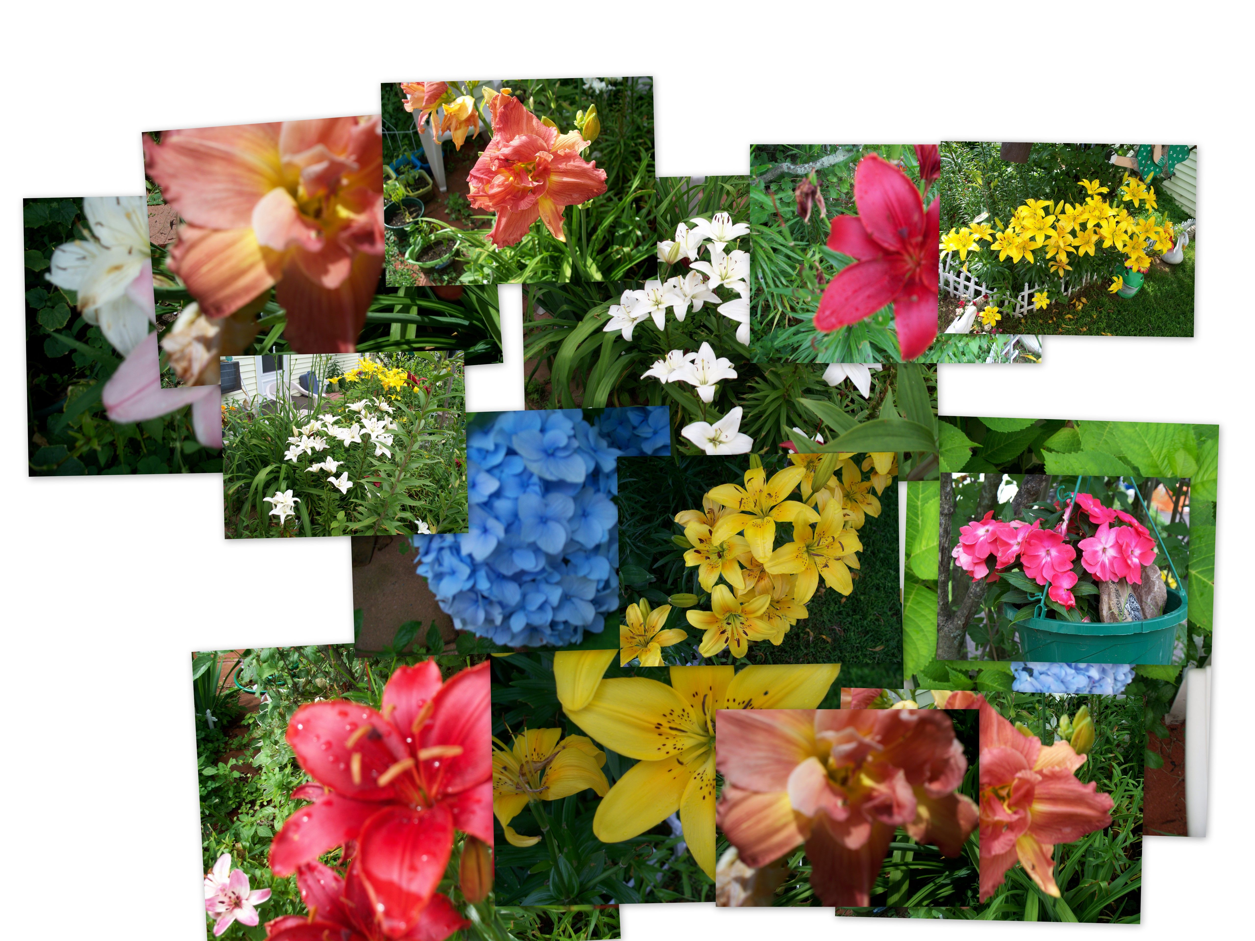 Collage of some of our flowers; lily\'s of many colors, some are ...