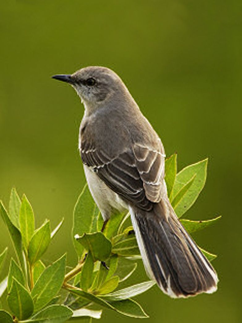 are you really southern to kill a mockingbird south carolina state bird of texas mockingbird