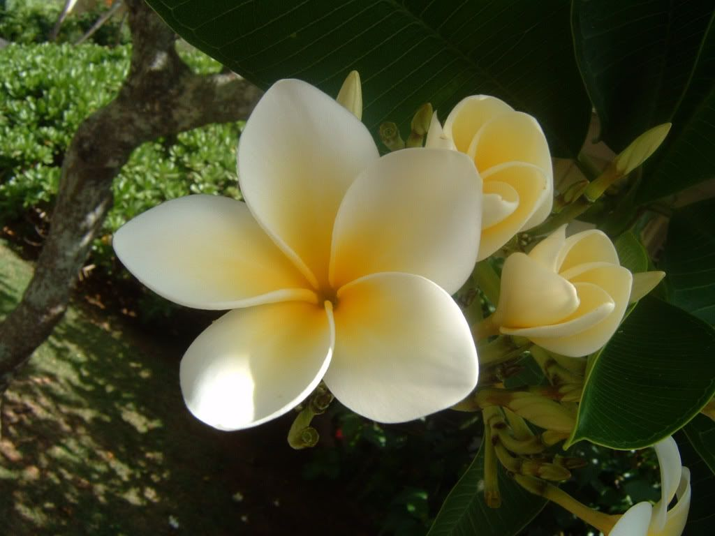 Plumeria Google Search Plumeria Flowers Flowers Flower Care