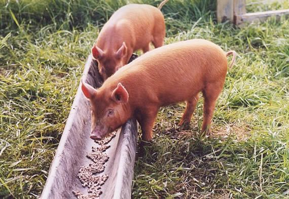 What And How Much To Feed Pigs Farm And Garden