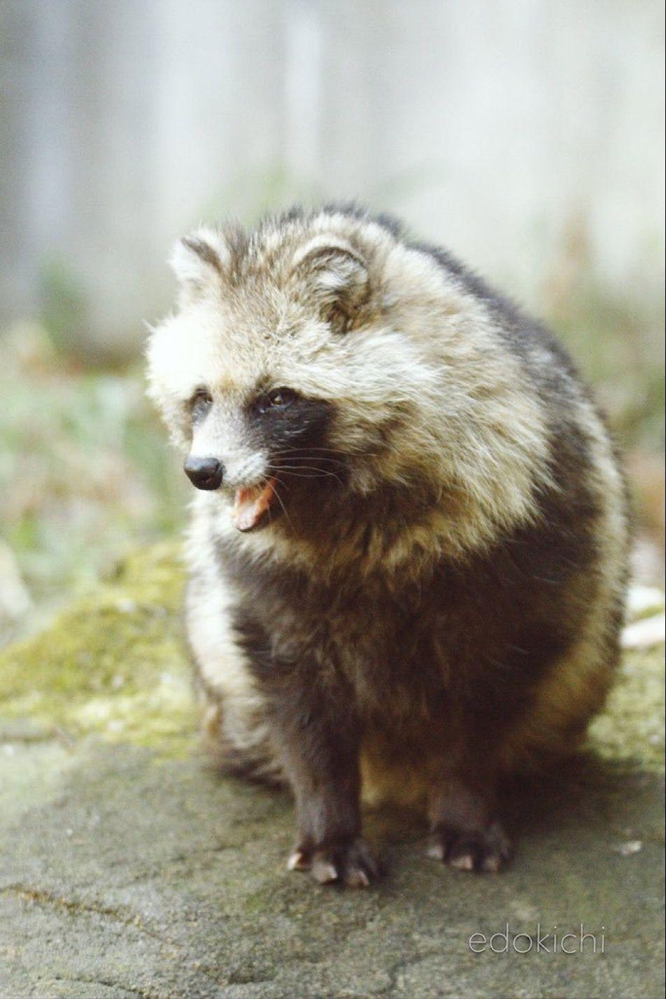 タヌキ Raccoon Dog タヌキ いぬ 動物 写真