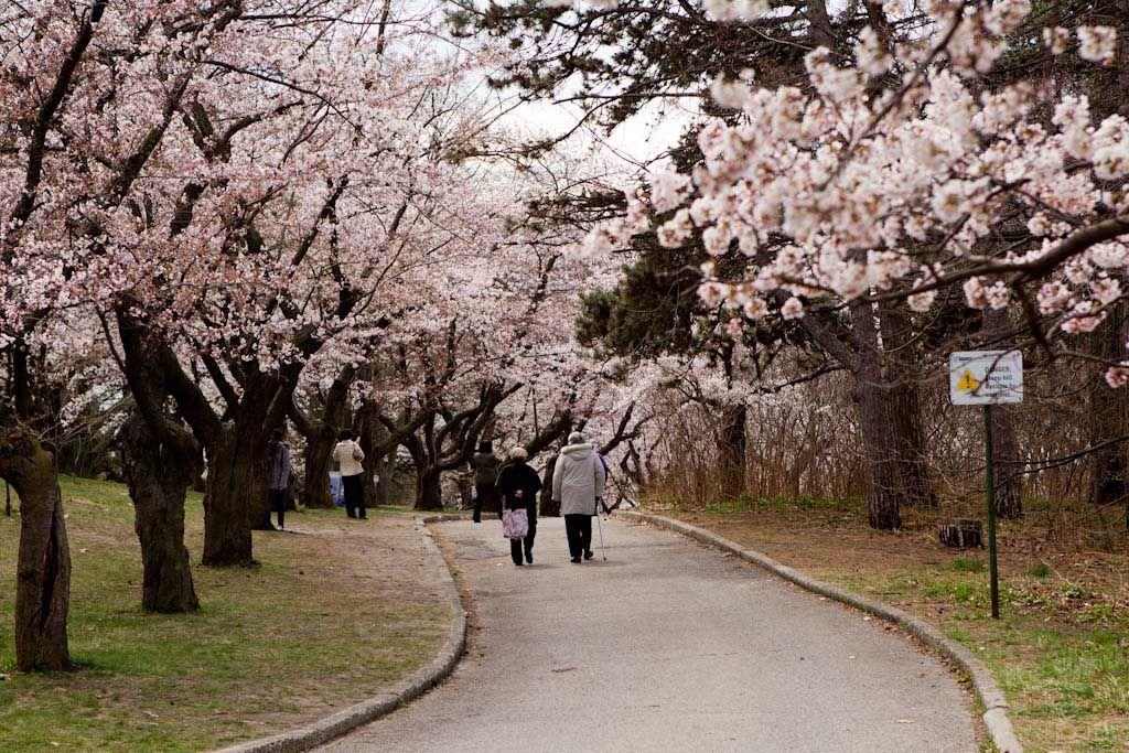 20120411blossoms1 Toronto High Park Great Places Cherry Blossom