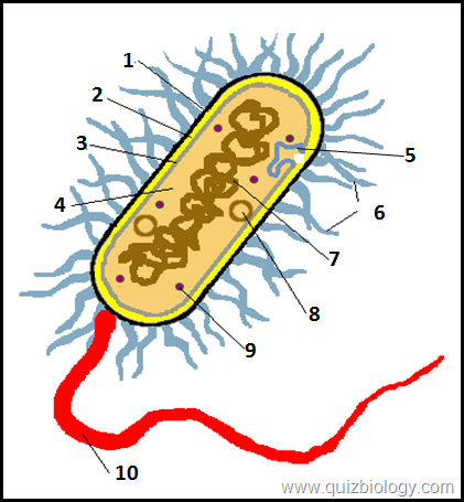 Bacterial Cell Structure Worksheet: Interactive Diagram Quiz on Bacterial cell   Biology Quizzes    ,