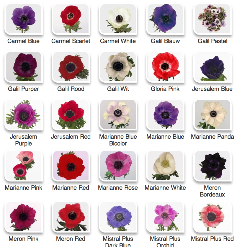 Anemones From Hyperactive Farms Anemone Flower Spring Flowers Flower Farm