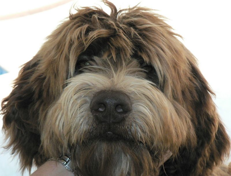 Royal Diamond Labradoodles Grooming Face on a Wavy
