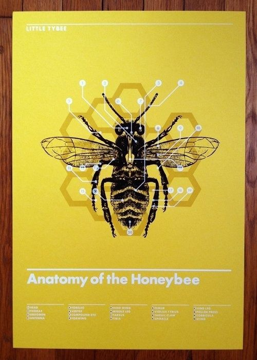 Anatomy Of The Honeybee Modern Nature Study Little Tybee Poster By