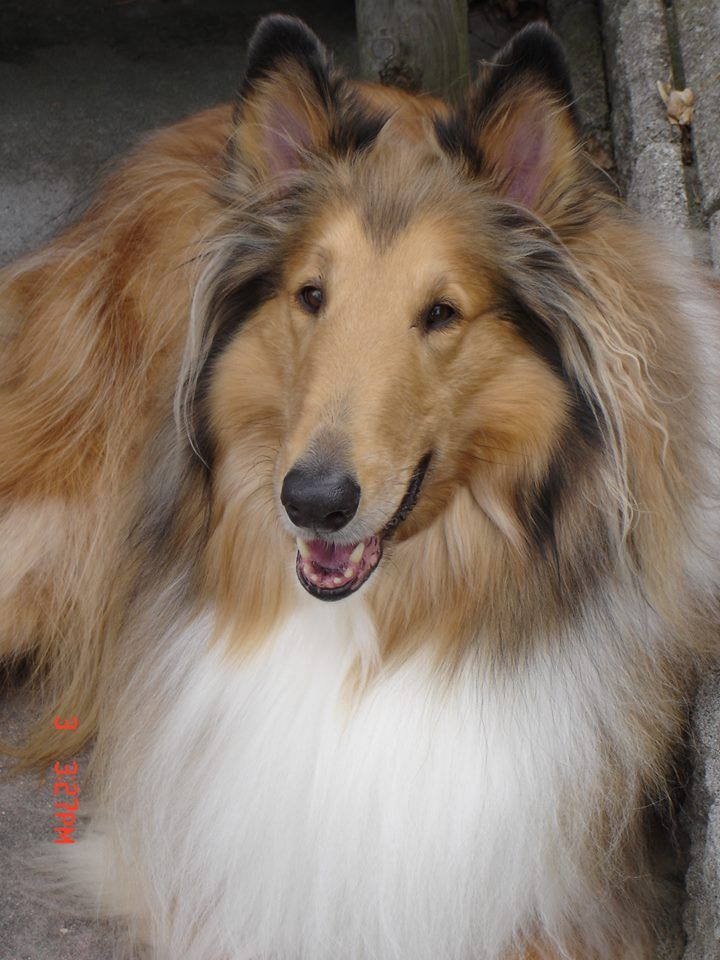 Beautiful Collie Beautiful Dogs Rough Collie