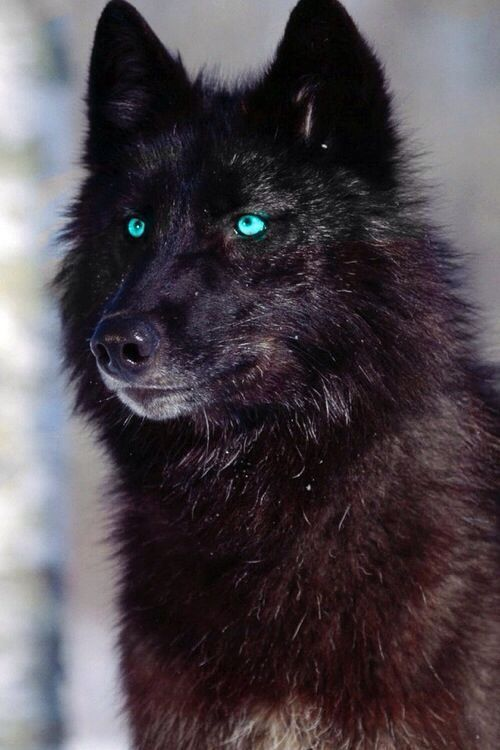 Black Wolf With Blue Eyes Aka How I Picture Derek Hale In Wolf Form Loup Noir Animaux Beaux Animaux