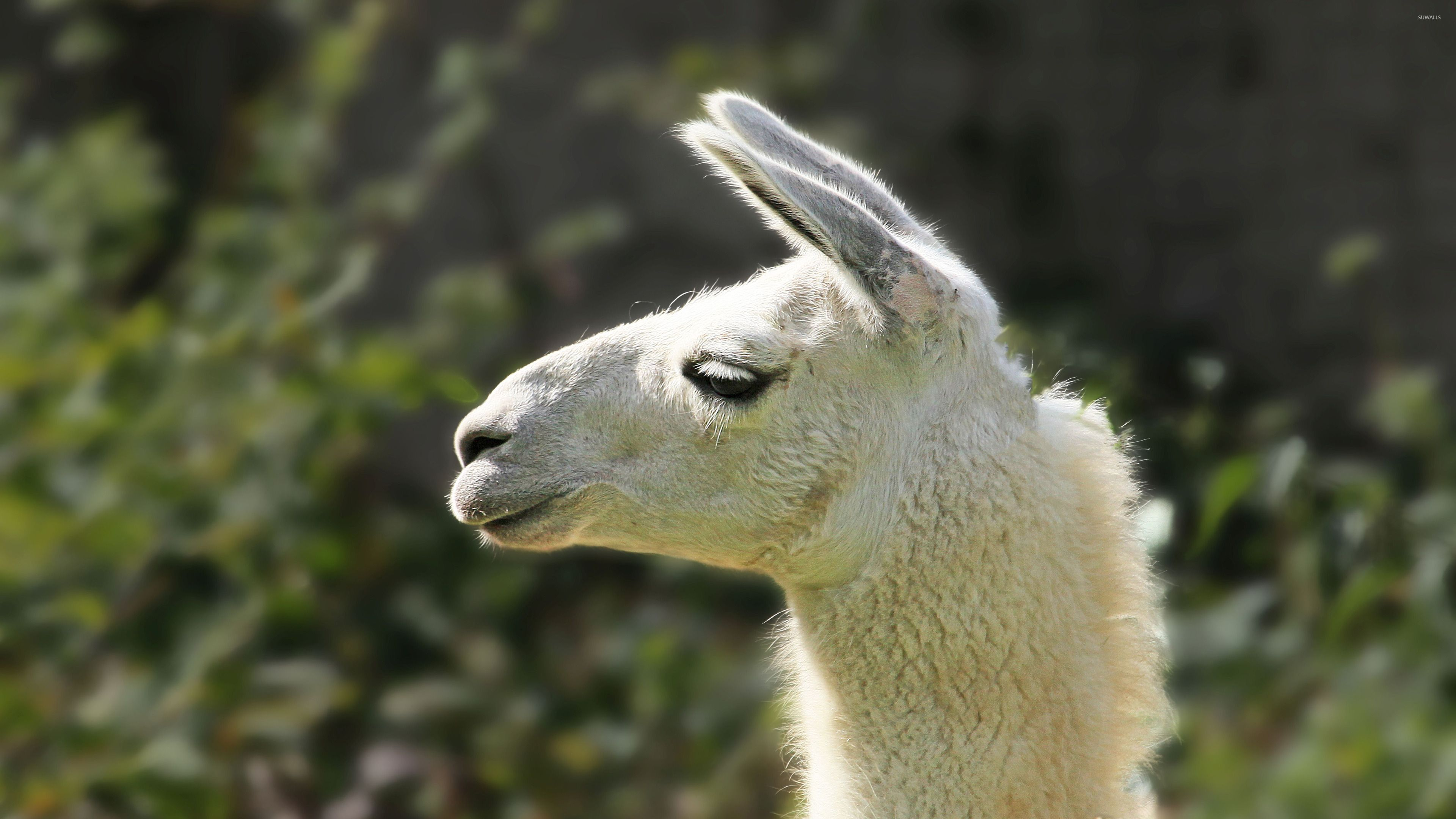 Best Ideas About Llama Wallpaper On Pinterest Fotos