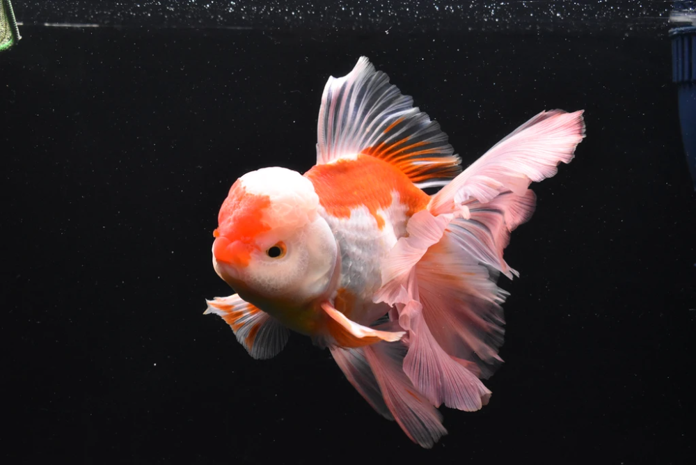 Thai Oranda Red White 8 Inch Id 626to13a 75 King Koi And Goldfish Red And White Goldfish Food All Fish