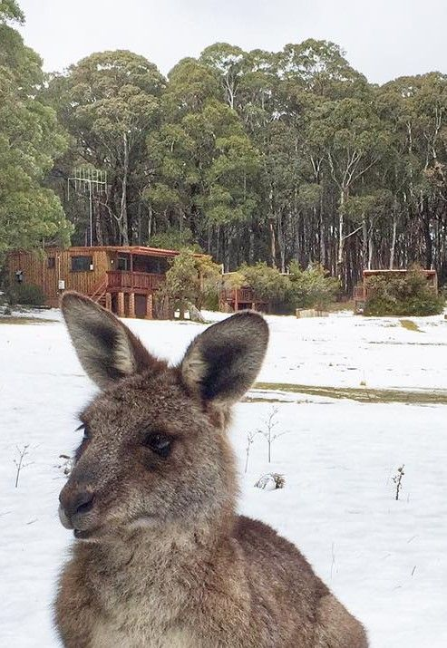Kangaroo in the snow at  The Blue Mountains NSW