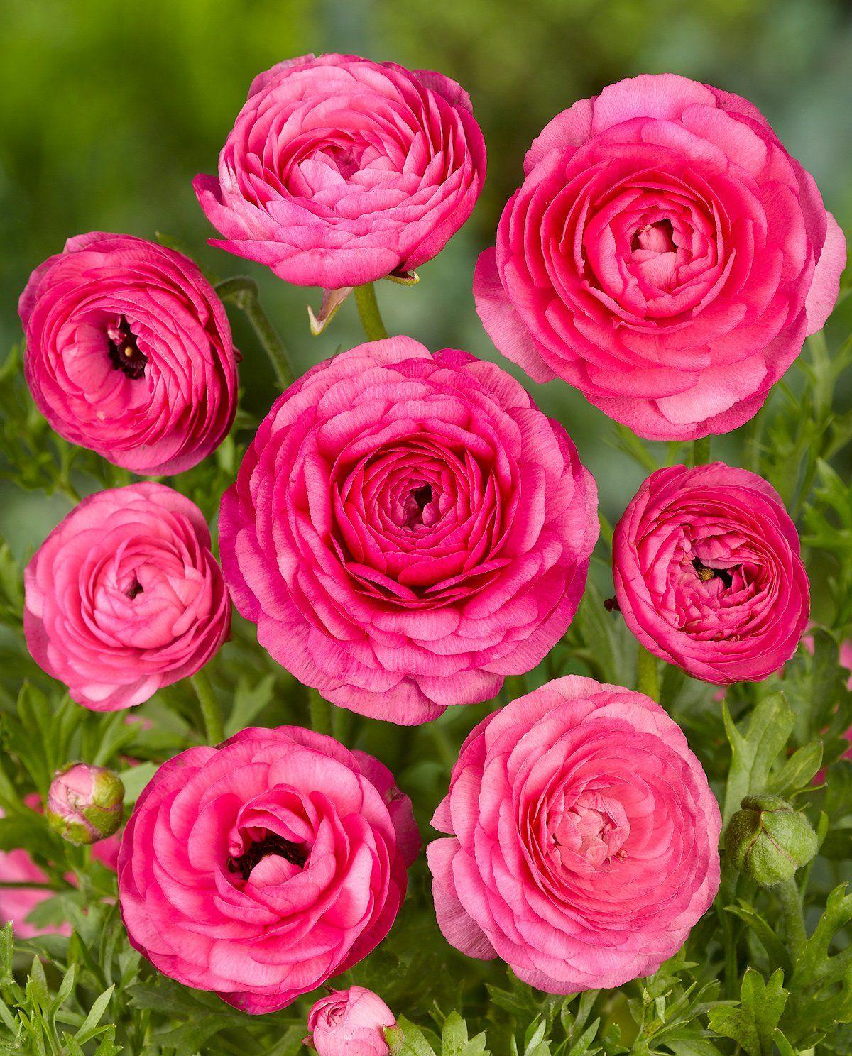 Pink Tecolote Ranunculus 10 Bulbs In 2020 Bulb Flowers Rose Like Flowers Types Of Roses