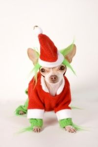 Chihuahua wearing elf outfit