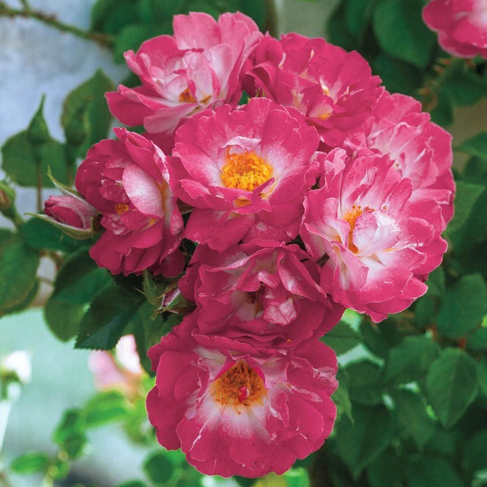 Spring Hill Nurseries Cupid S Kisses Miniature Rose Live Bareroot Plant Pink Color Flowers 1 Pack 63455 The Home Depot Spring Hill Nursery Climbing Roses Flowers