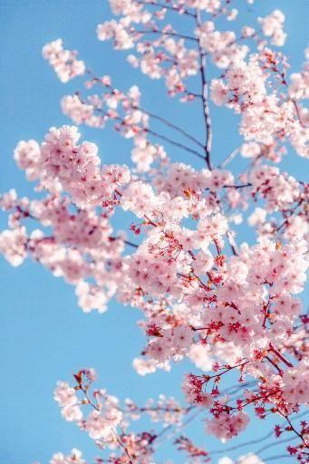 Young love - Bija Xx, lofi house music,  flowers, nature,  sky, blue, pink, beauty, Japan, inspiring