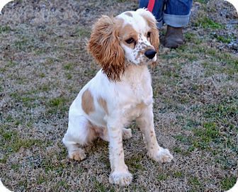 Adopted Arkansas Evan Is A 6mos Spaniel Mix Who S A Sweet