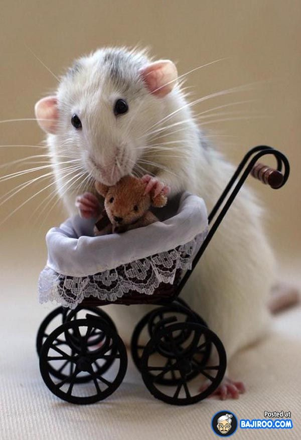 15 Pictures Of Very Funny and Cute Rats(Mice) Animals Pinterest