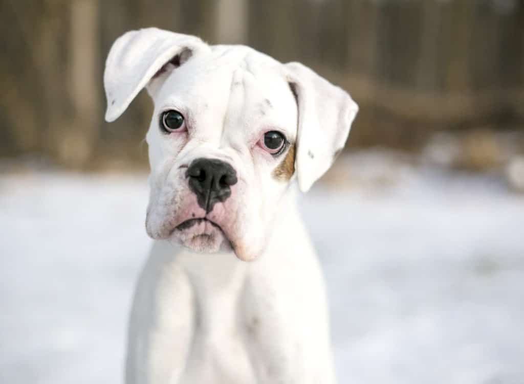 55 boxer puppy food in 2020 white boxer