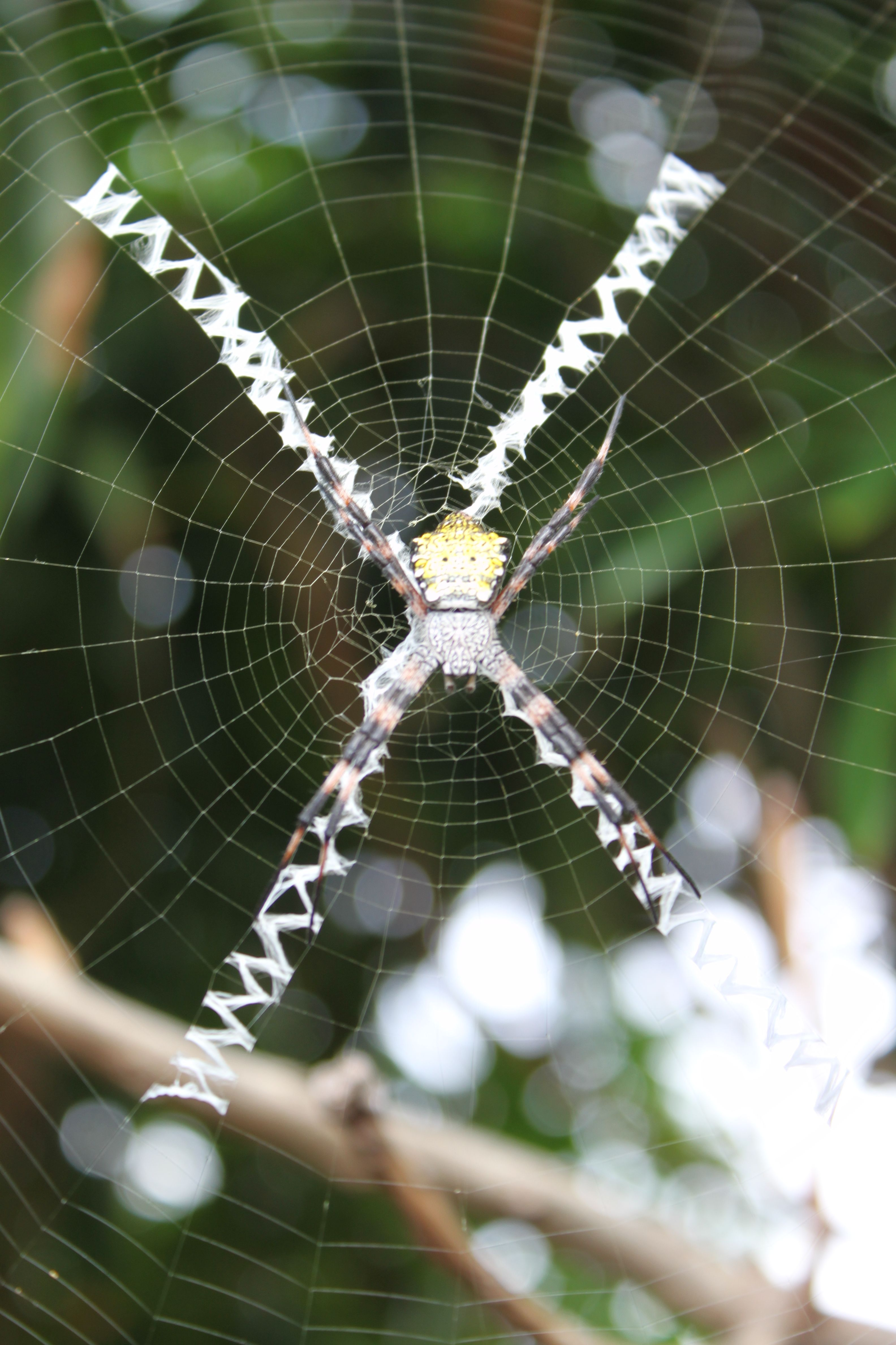 This Sugar Cane Spider Makes A Web To Hide In