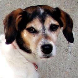 Adopt Paisley Adopted On Beagle Dog Adoption