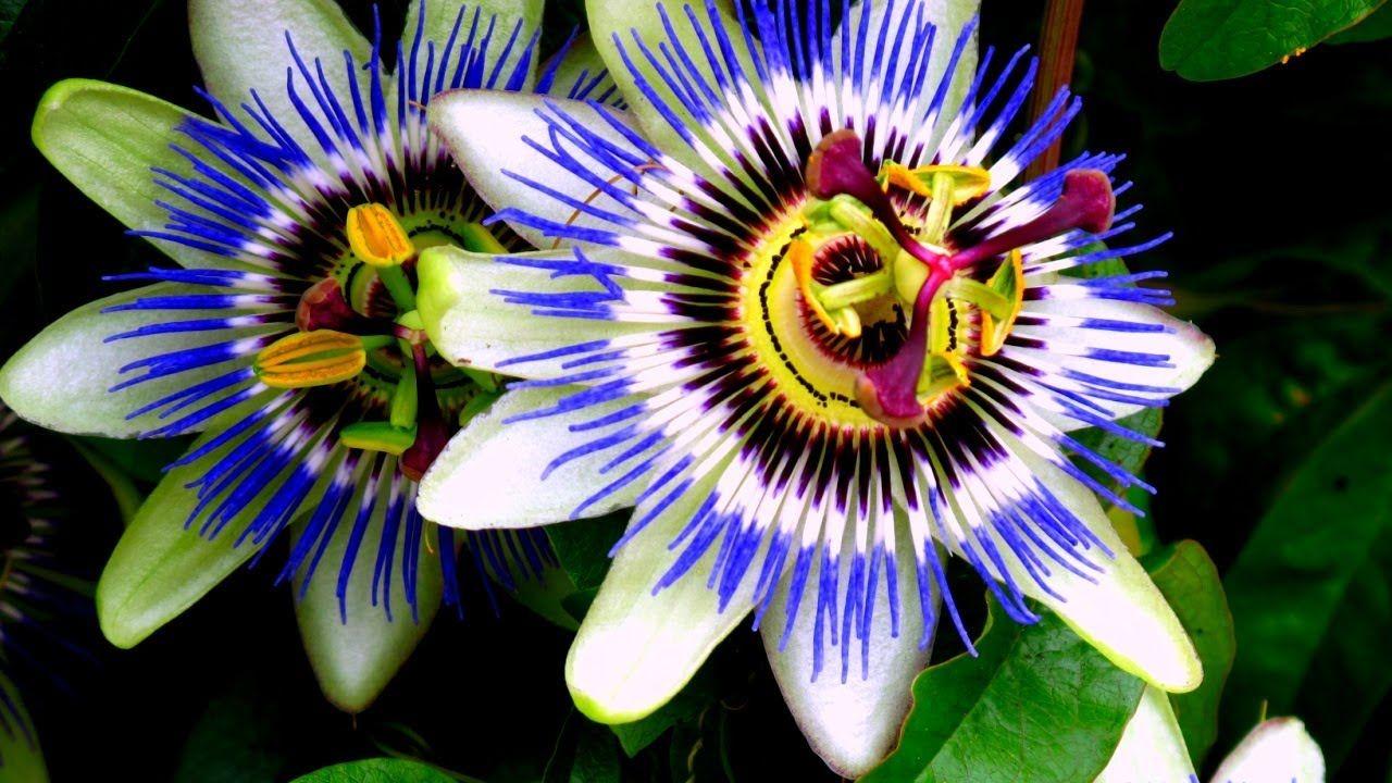 Blue Passion Vine Passiflora Caerulea Tasty Yellow Fruit Here Passiflora Caerulea Passion Flower Blue Passion Flower