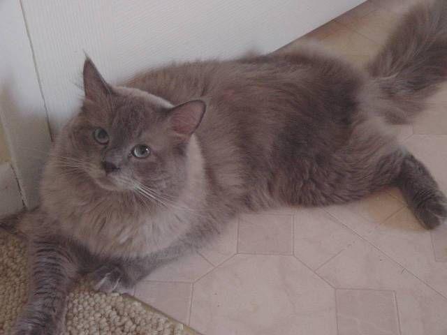 Blue Colourpoint Mink Ragdoll Cat Sking Kong 6 03 07 Jpg 640 480 Ragdoll Cat Colors Ragdoll Cat Cat Facts