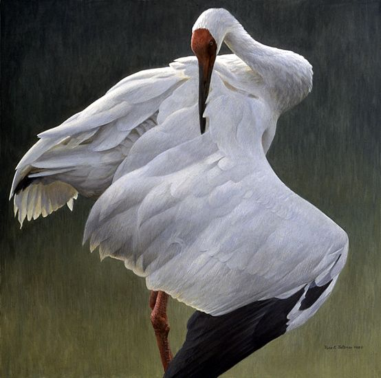 "Robert Bateman, Defensive Stand. Based on one of the Siberians at the International Crane Foundation. He is not preening, he is in a ""sabre threat pose"". If you don't get the hint, his next step is to jump you and either spear you with his beak or rake you with his claws."