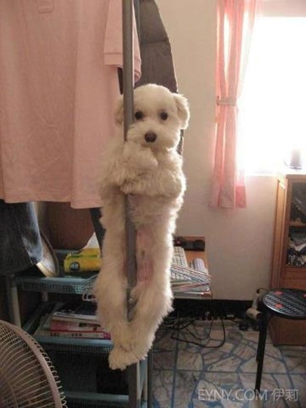 This Pole Dancing Dog Funny Animals Cute Animals Baby Dogs