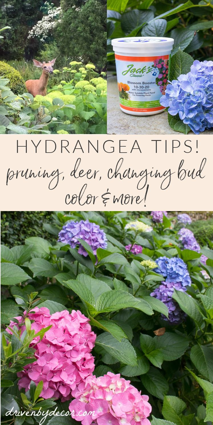 How To Prune Hydrangeas Change Their Color Revive Wilting Blooms Other Tips And Tricks That Will Make You A Hydrangea Boss Driven By Decor In 2020 When To Prune