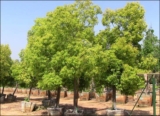 Camphor Tree For Always Green Trees Tex Nurseries
