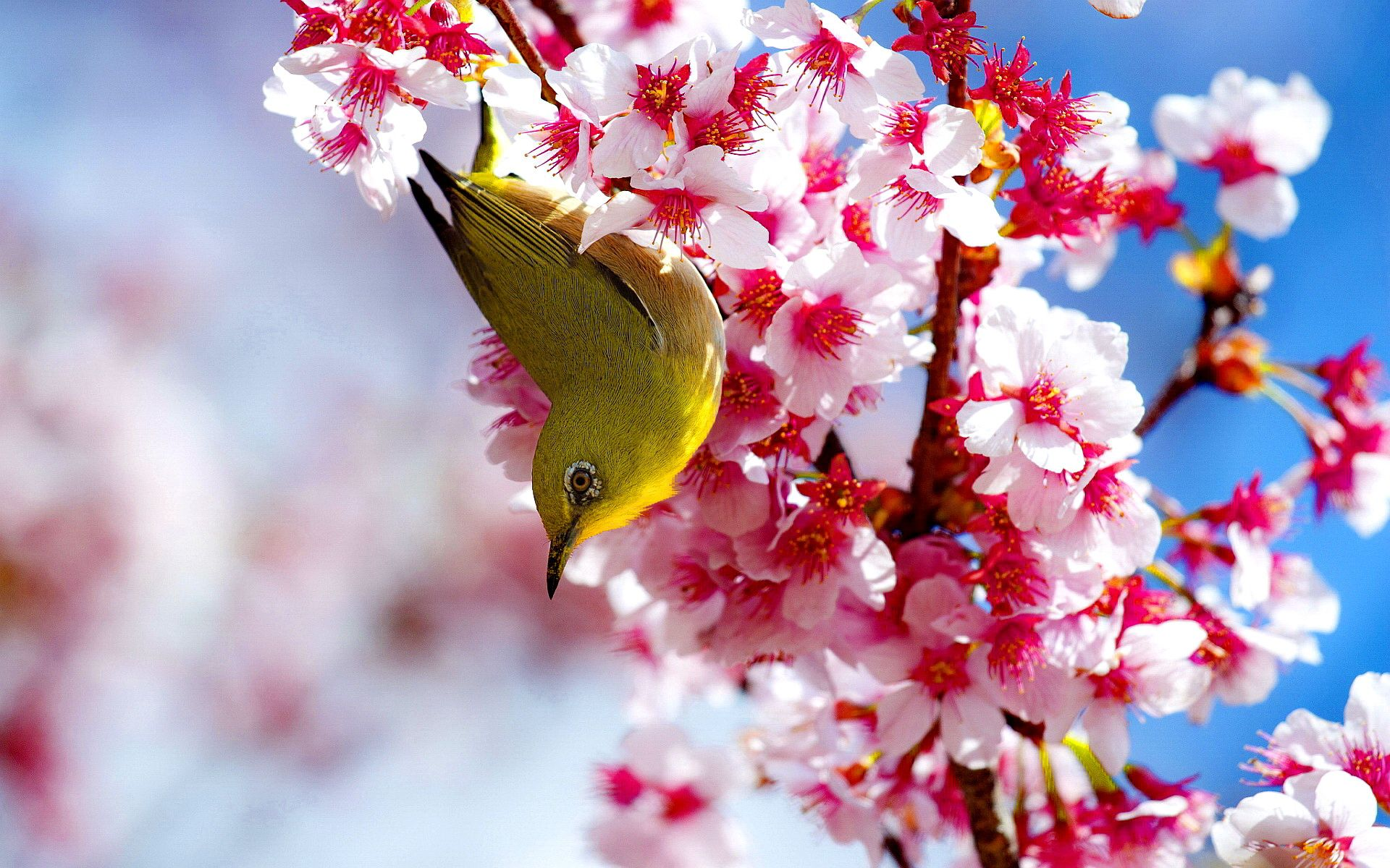 Bird In Cherry Blossoms Cherry Blossom Wallpaper Cherry Blossom Pictures Cherry Blossom Images