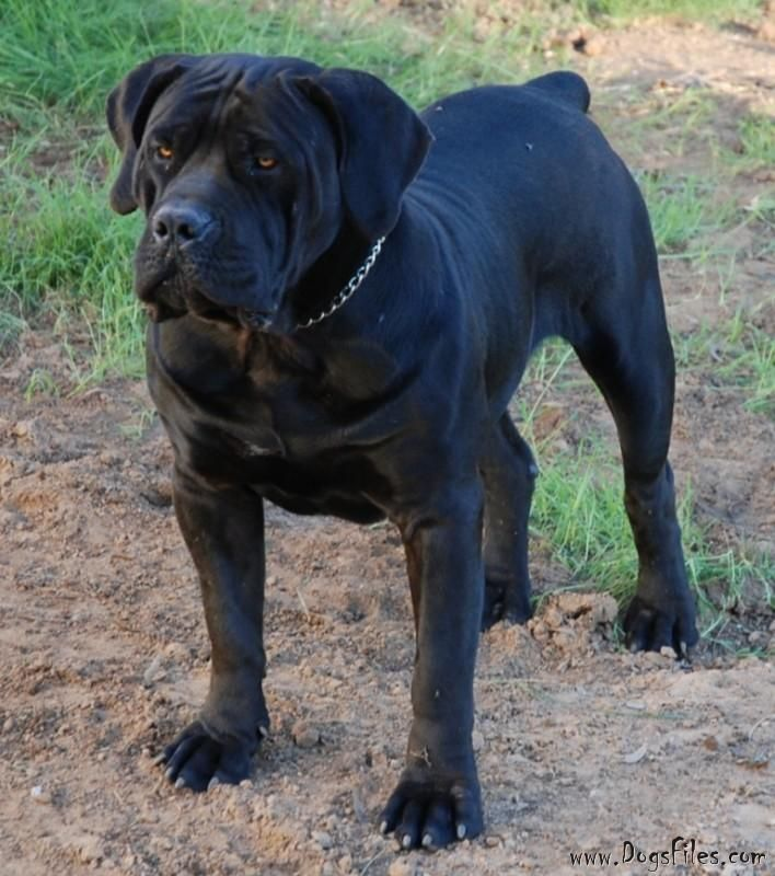 Spitsvuur Ramkat Pedigree Database Boerboel Dogs African