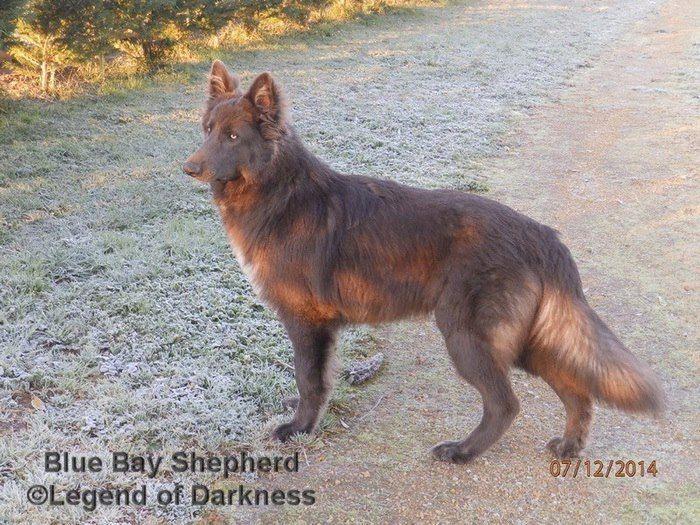 Timeline Photos Blue Bay Et Timber Shepherd Facebook Blue Bay German Shepherd Puppies Beautiful Dogs