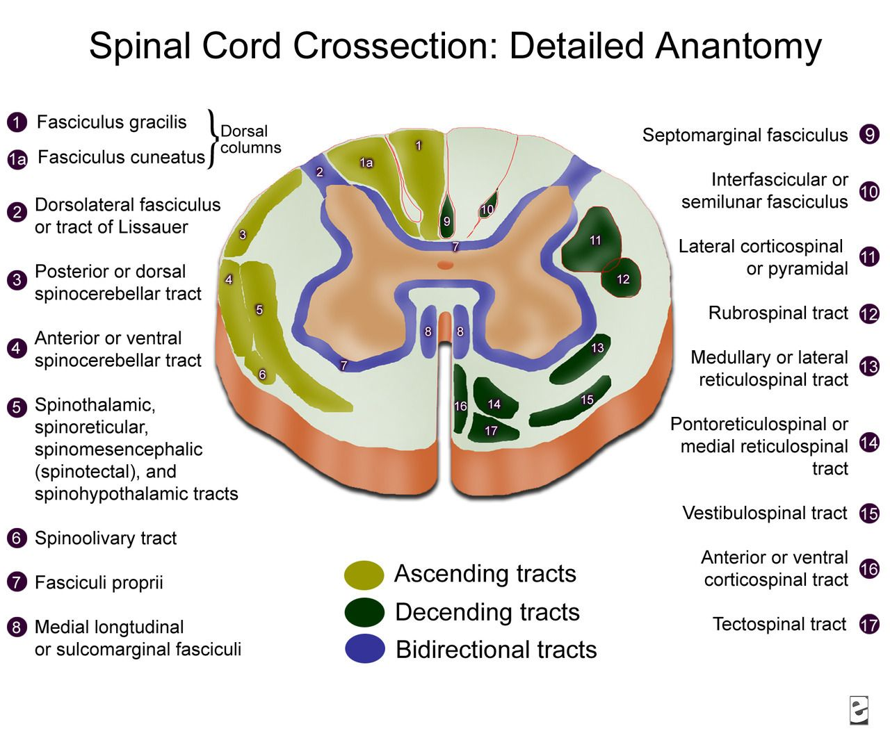 Neuroanatomyblog Spinal Cord Cross Section Detailed